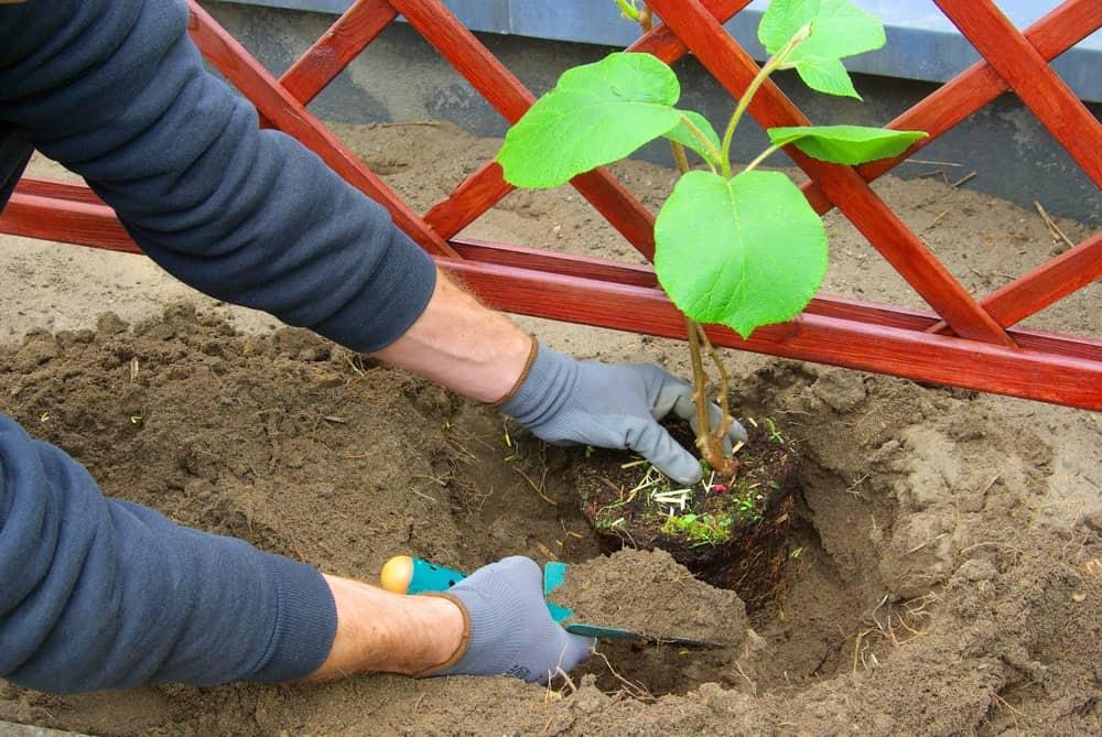 Planting a kiwi plant.