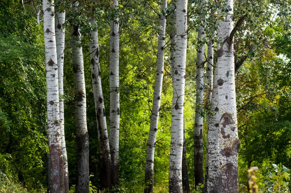 White bark trunks of poplar trees growing in a forest stand