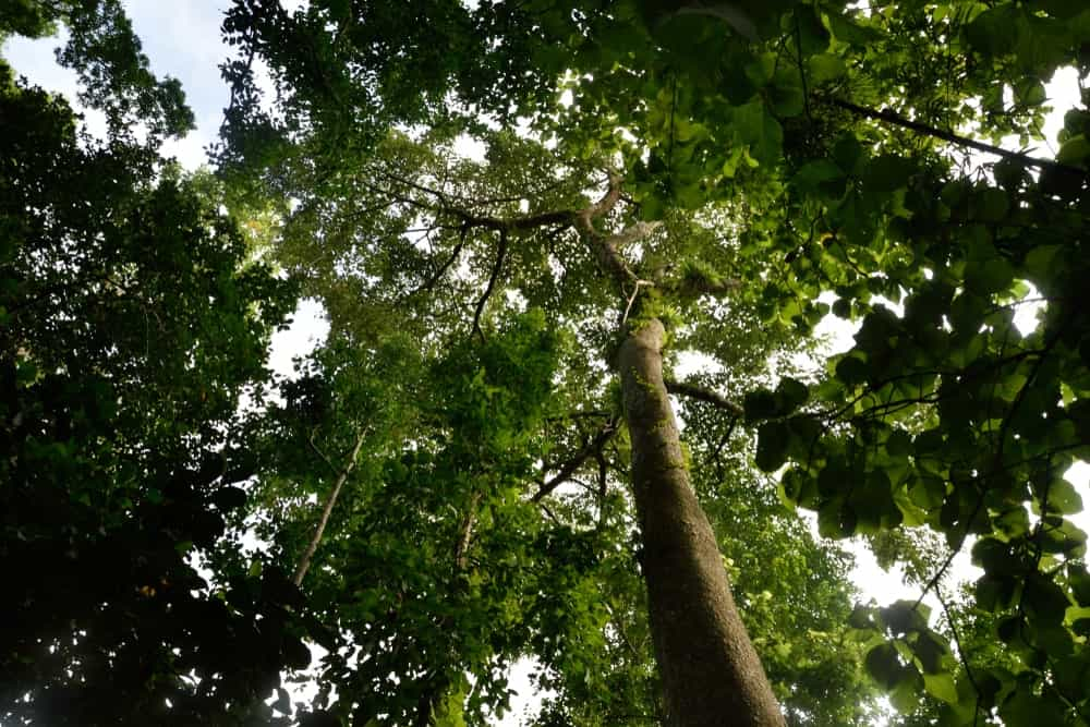 Teak treetop in Africa