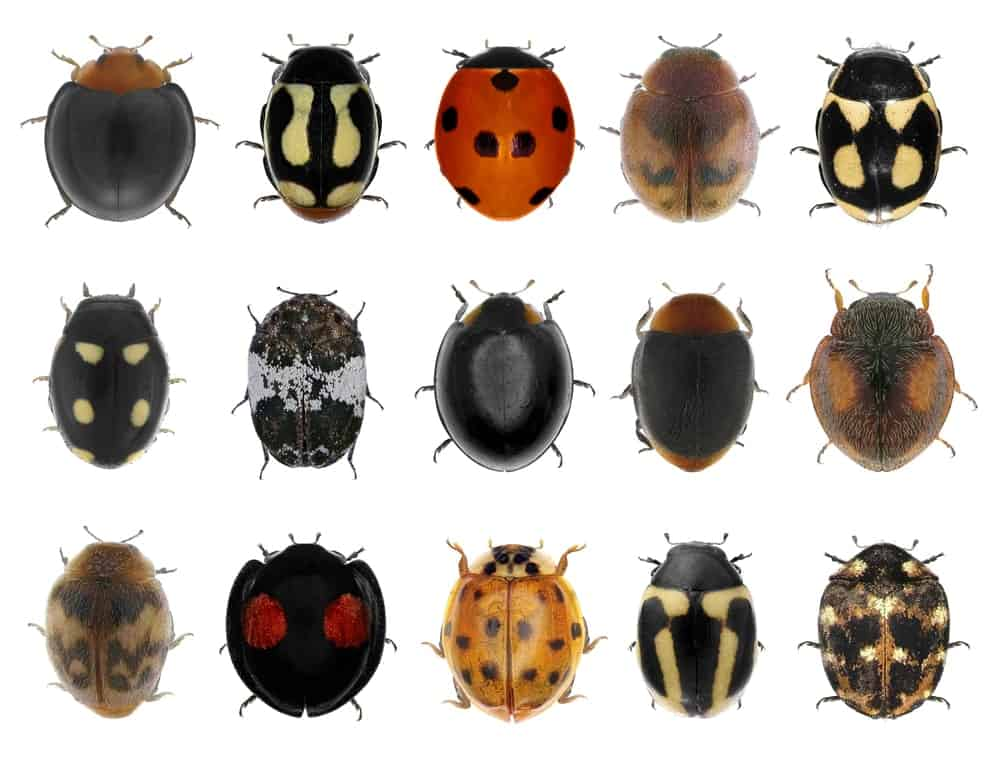 Different types of ladybugs
