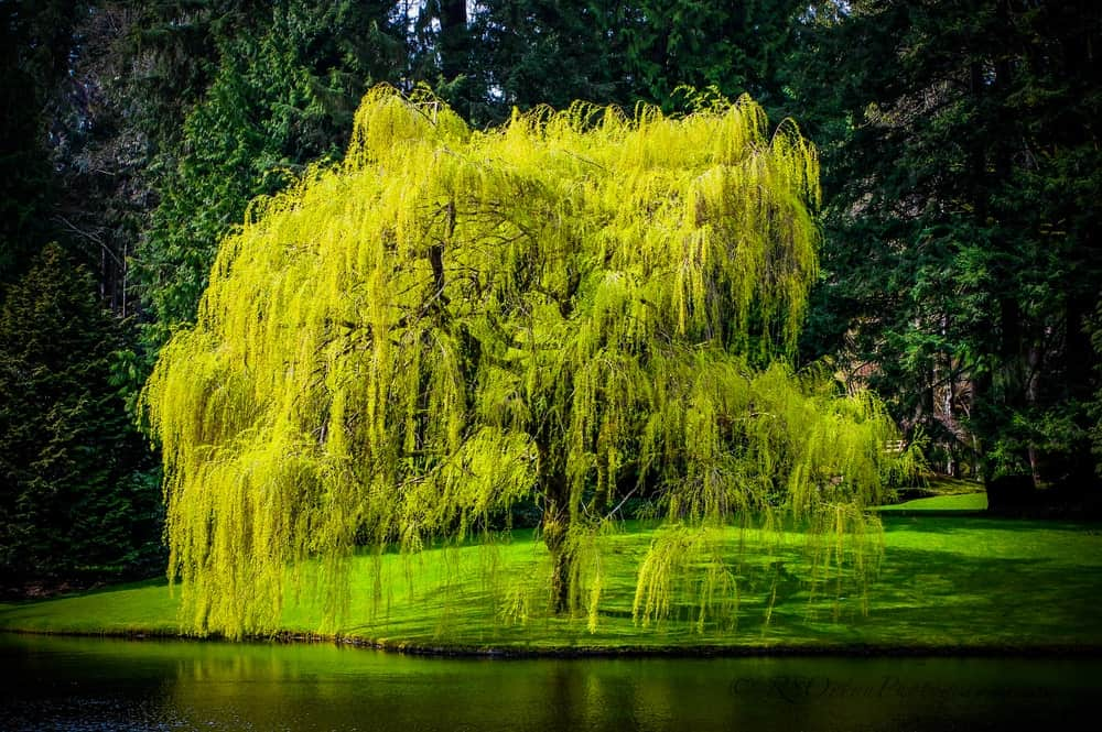 Willow tree near a pond.