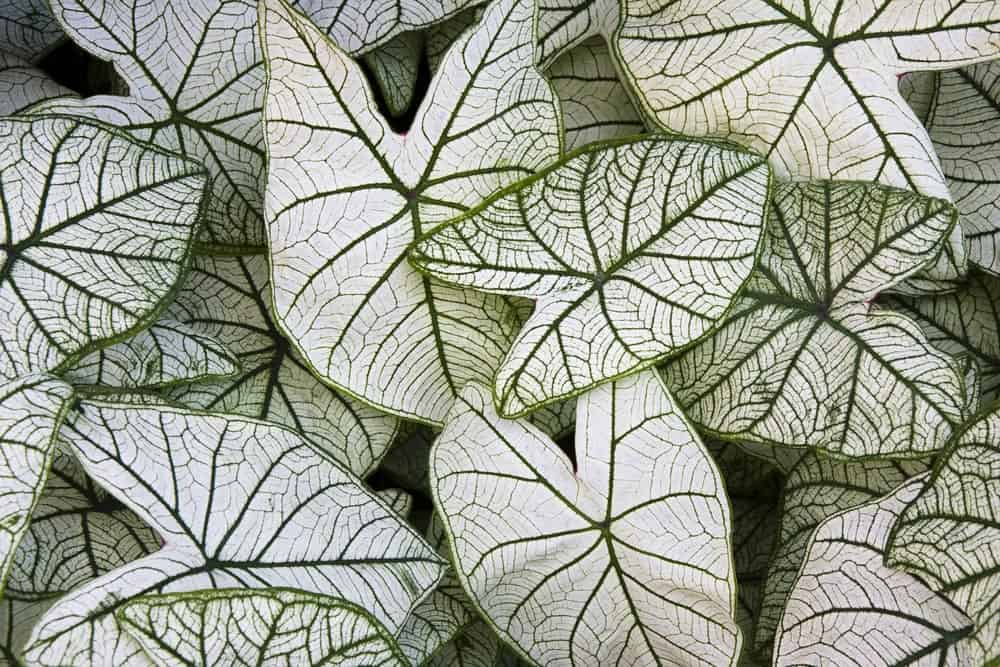 A fancy Caladium leaf that is medium sized