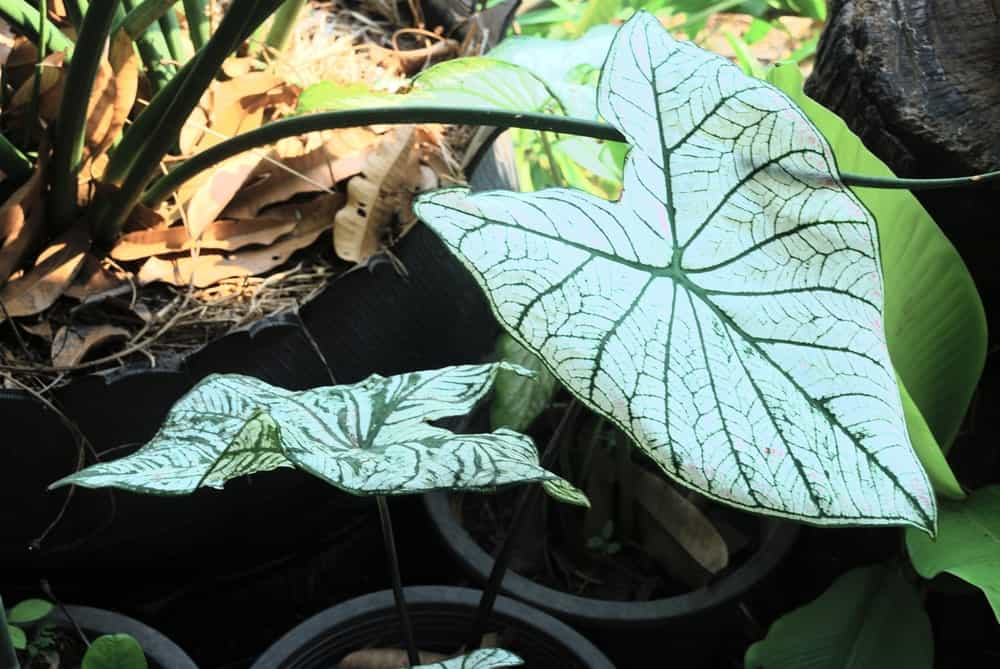A strap leaved Caladium leaf that has white and green veins