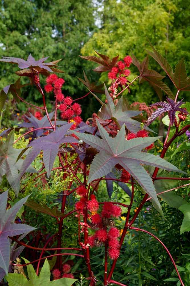A Carmencita Bright Red Castor Bean Plant with green leaves