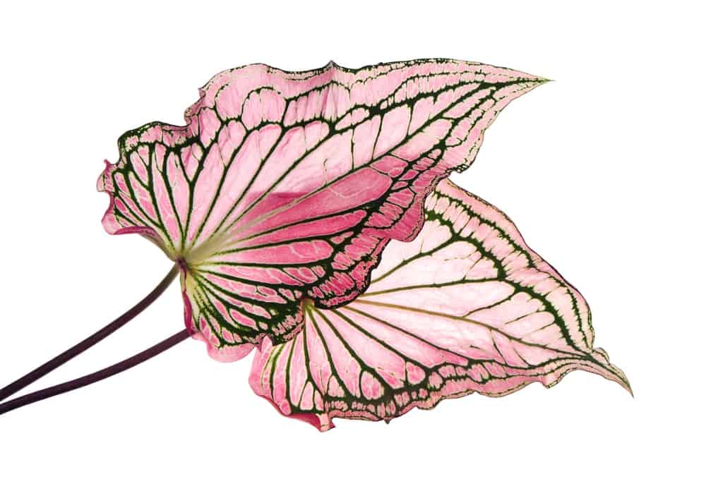 A Caladium leaf that has red veins and green margins