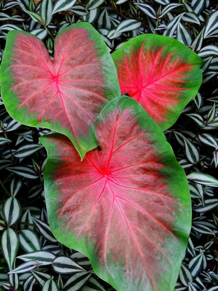 A fancy leaved Caladium that is pink in color