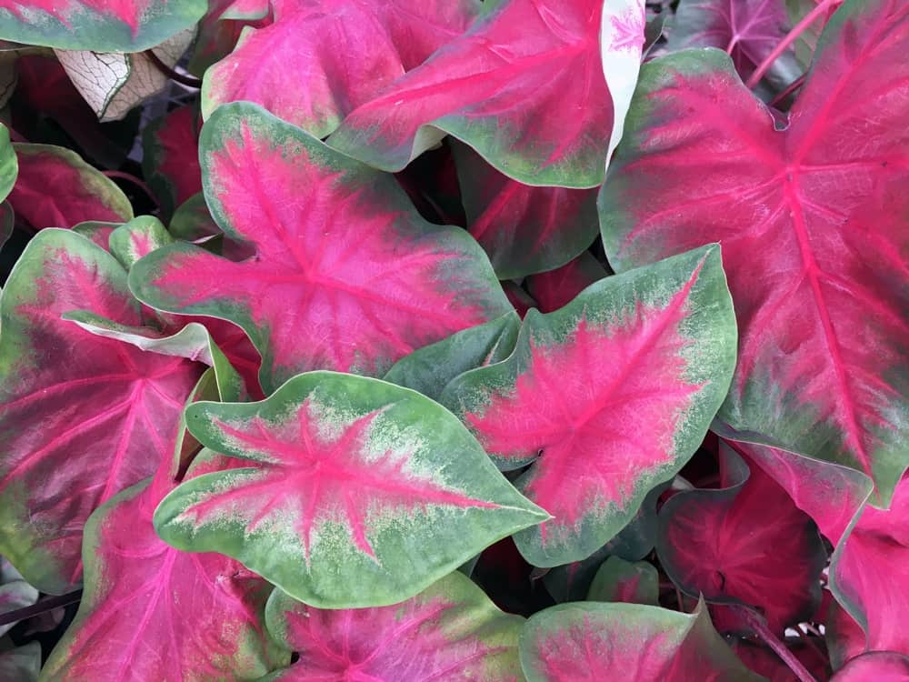 A fancy leaved Caladium that has wide green margins
