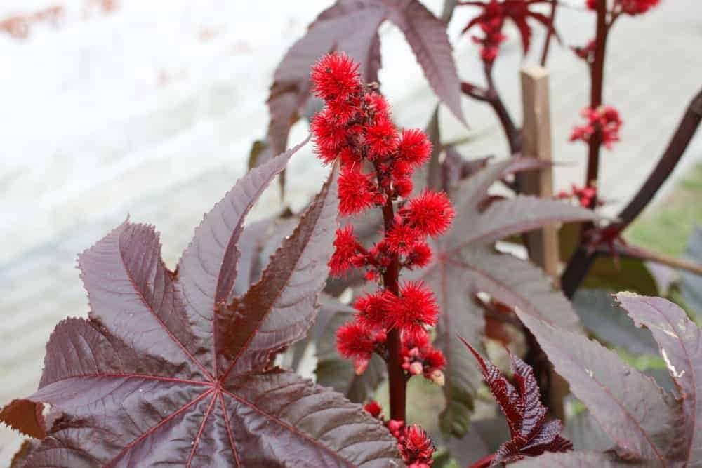 A Gibsonni Castor Bean Plant with pink seed pods