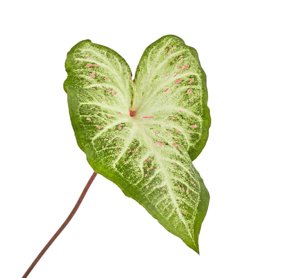 A strap leaved Caladium that has green margins and a white center