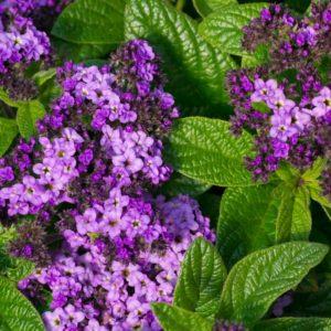 Purple heliotrope flowers in full bloom