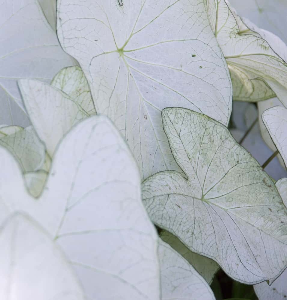 A fancy Caladium with white leaves