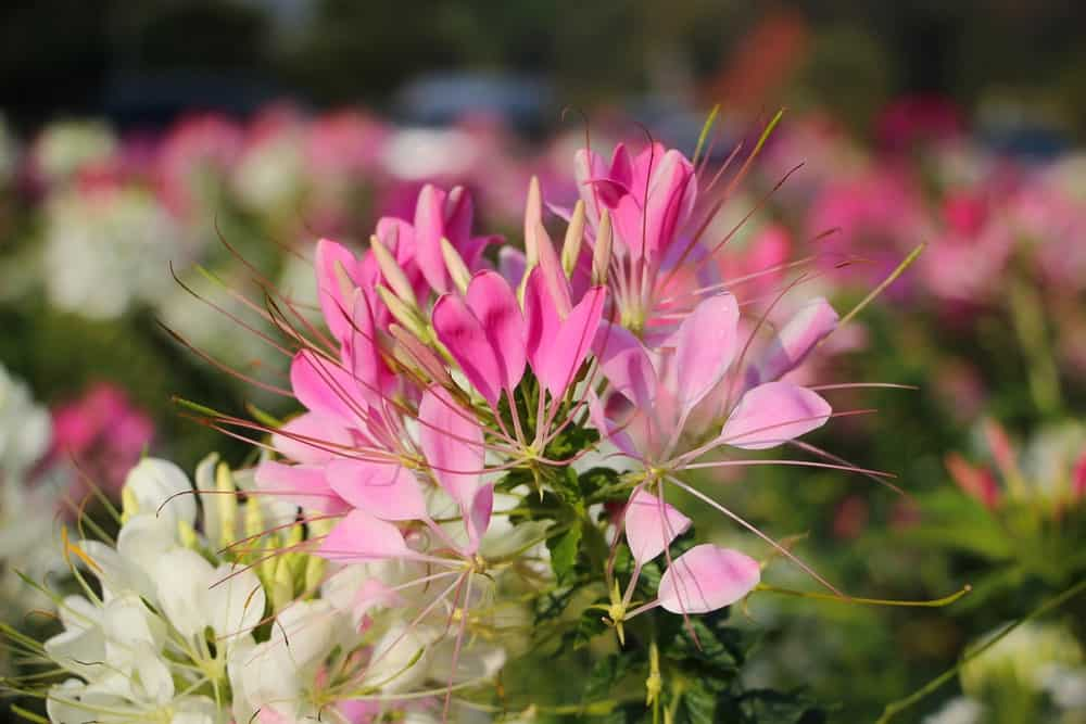 A Cleome plant cultivar called Linde Armstrong