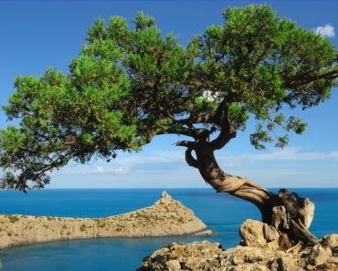 A Juniper tree on the brink of a rock over a blue bay.