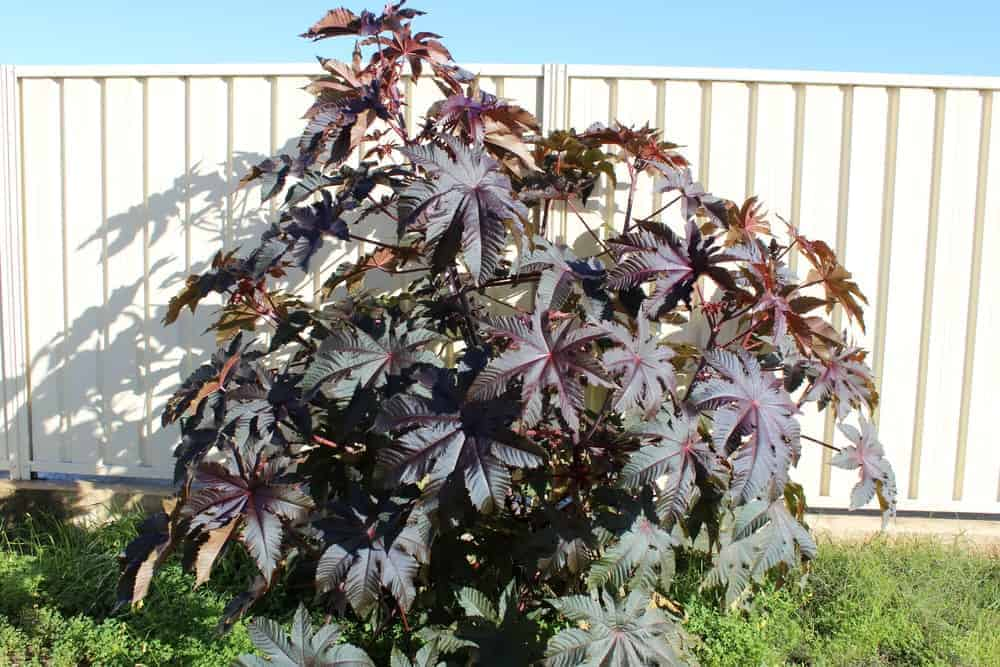 A Castor Bean Plant with purple leaves