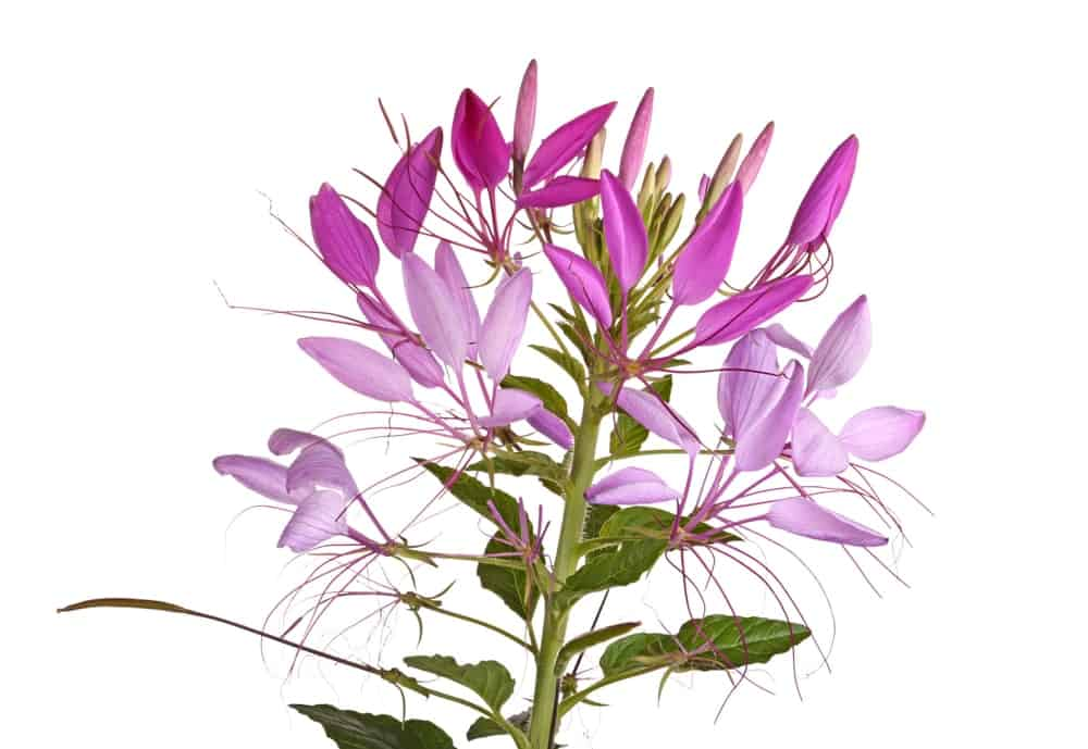 A Cleome plant cultivar belonging to the Spirit series