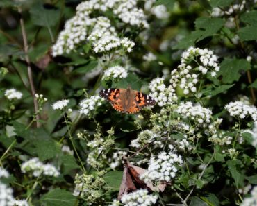 An orange and brown butterfly in a field of white boneset flowers