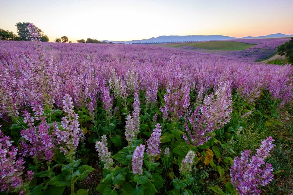Clary Sage flowers in a field