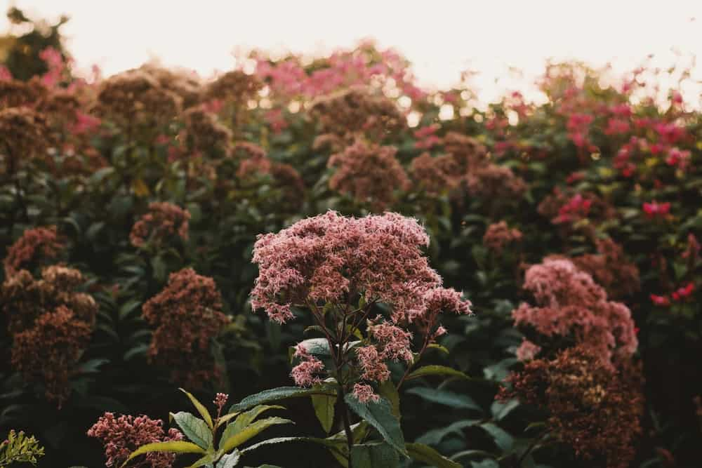 Spotted joe-pye weed flowers