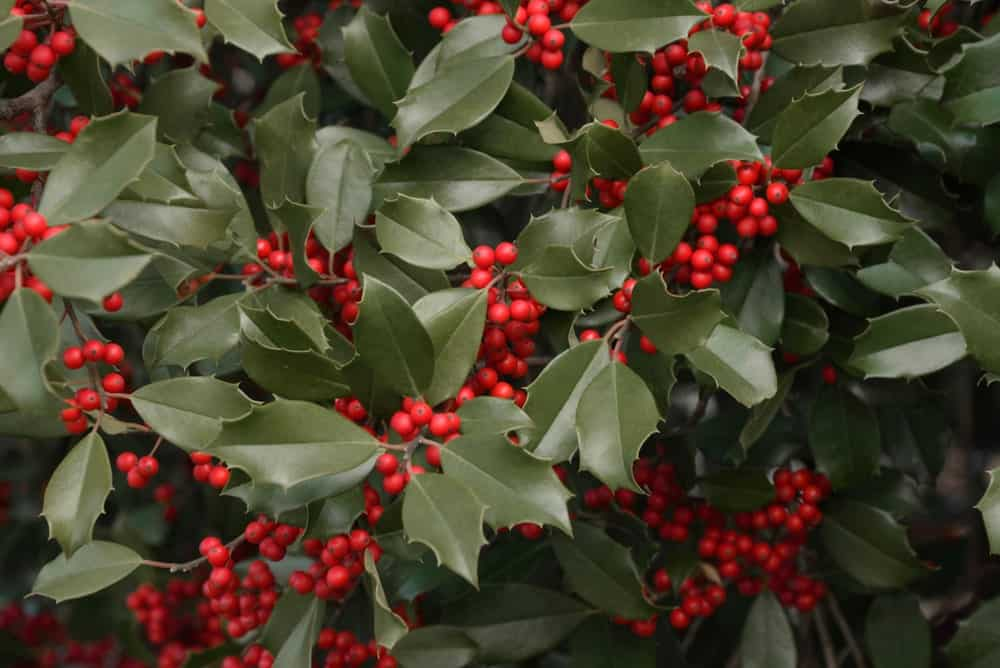 12 Different Types Of Holly Bushes And Trees