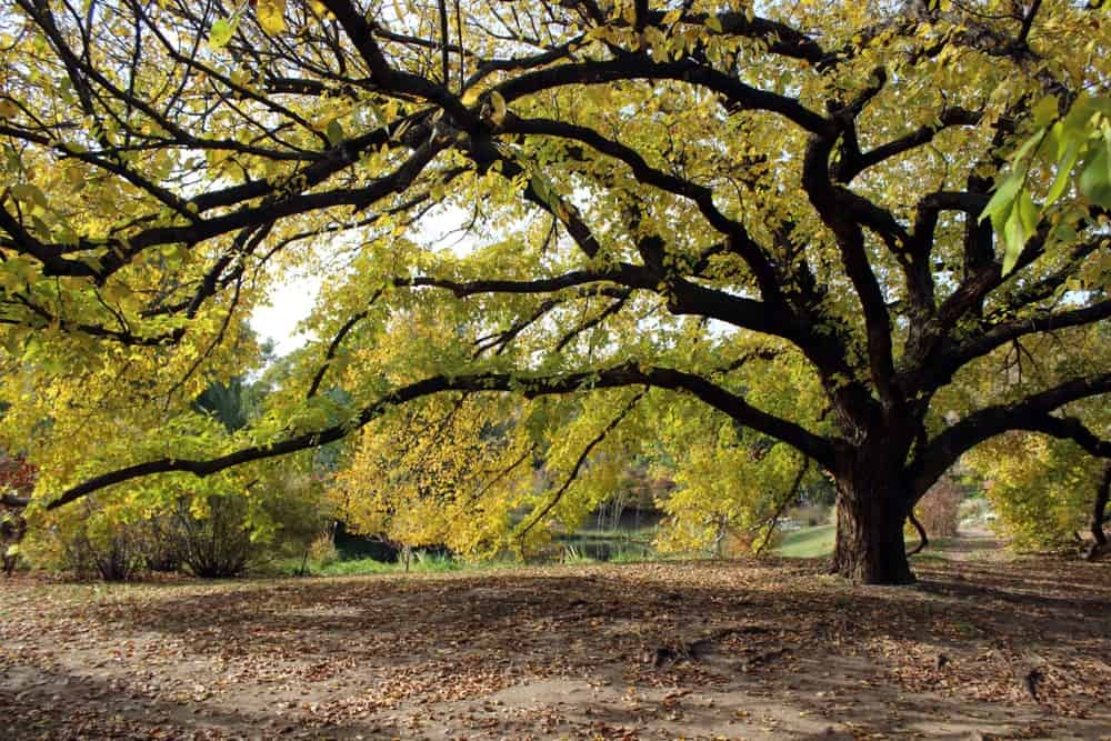 Mature American elm tree