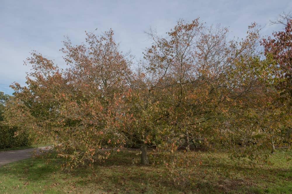 Multiple American hornbeam trees