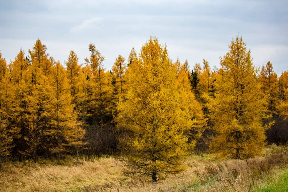 American larch trees