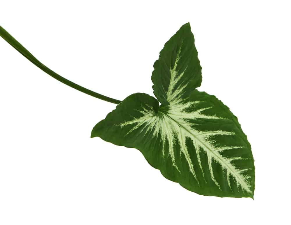 A Caladium leaf that is white towards the center
