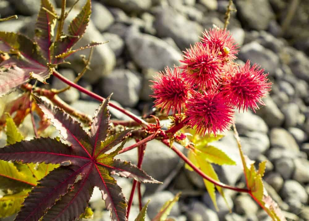 A Castor Bean Plant that is reddish purple in color