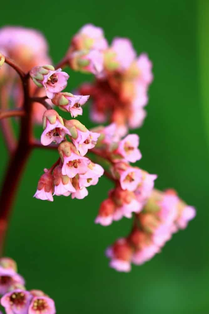 Flowers of Apple Blossom bergenia