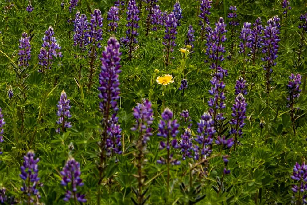 Light Purple Lupine Flowers