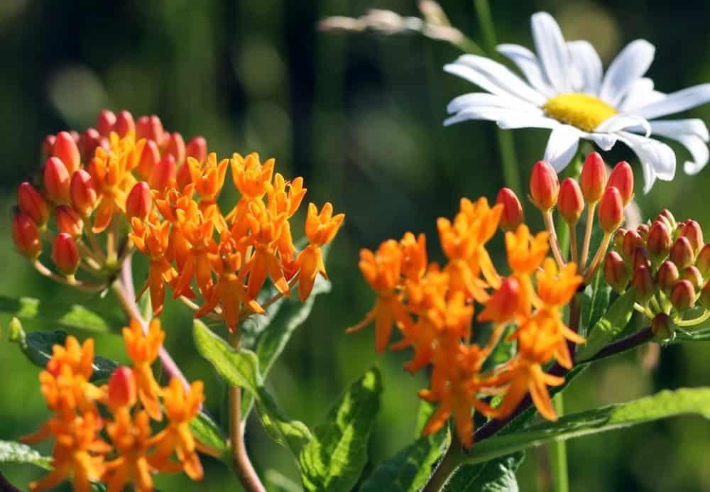 The common butterfly weed flower