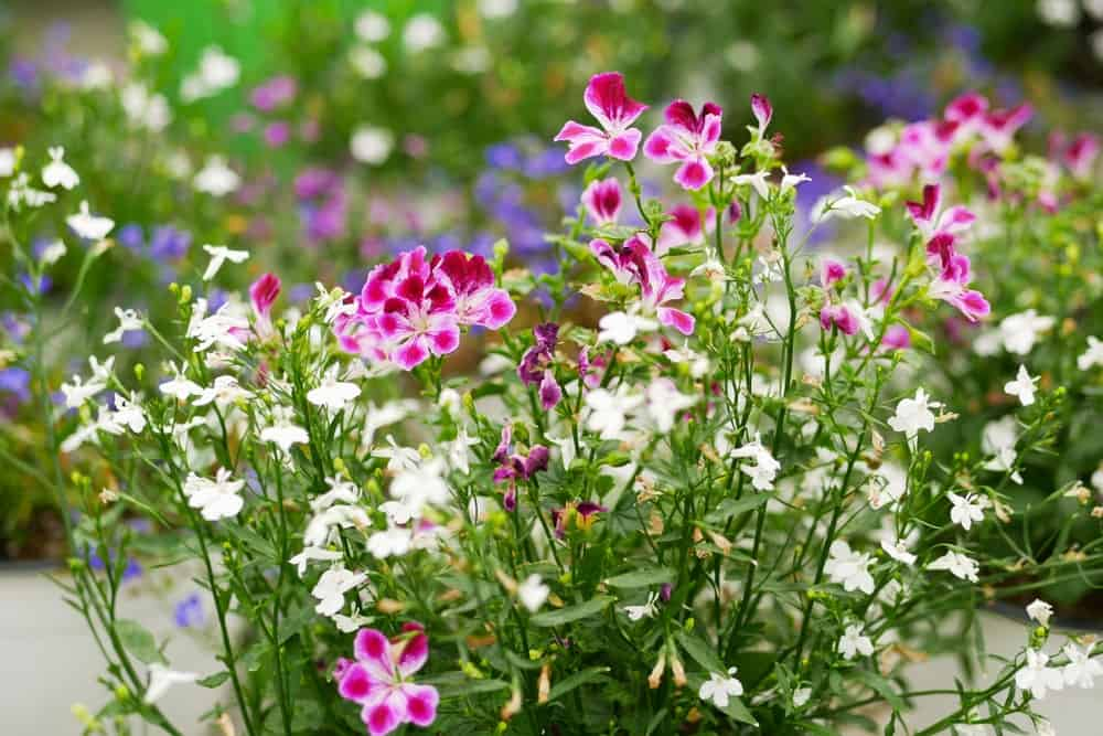 White and pink lobelia flowers