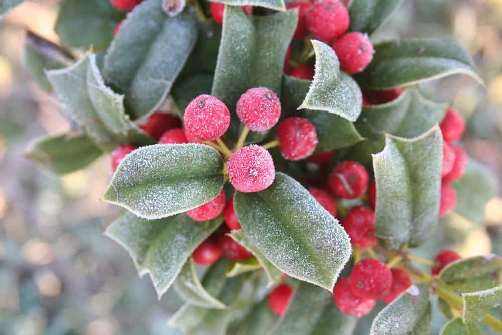 Frozen Red Berries with Green Leaves