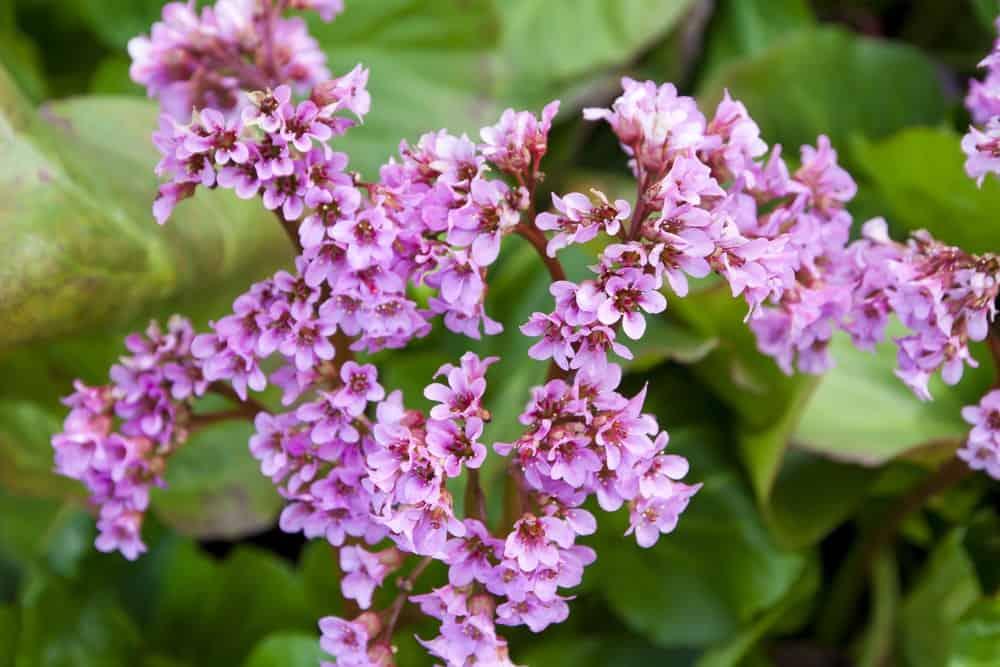 Flowers of heartleaf bergenia