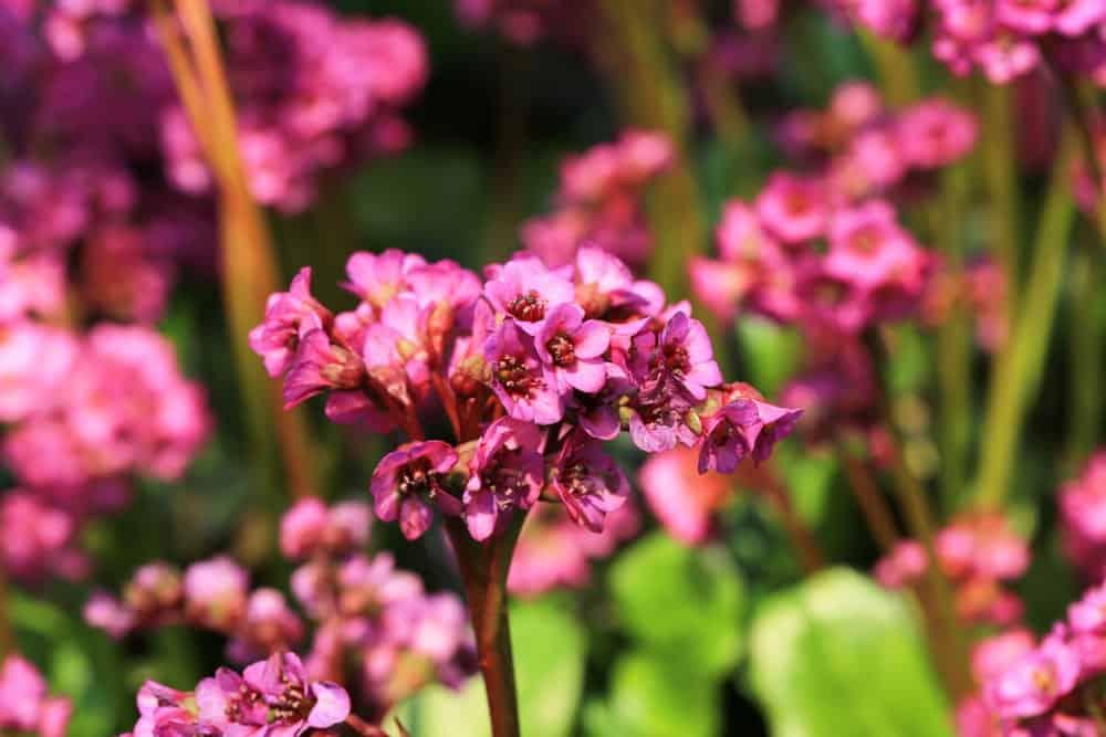 Bright pink bergenia flowers