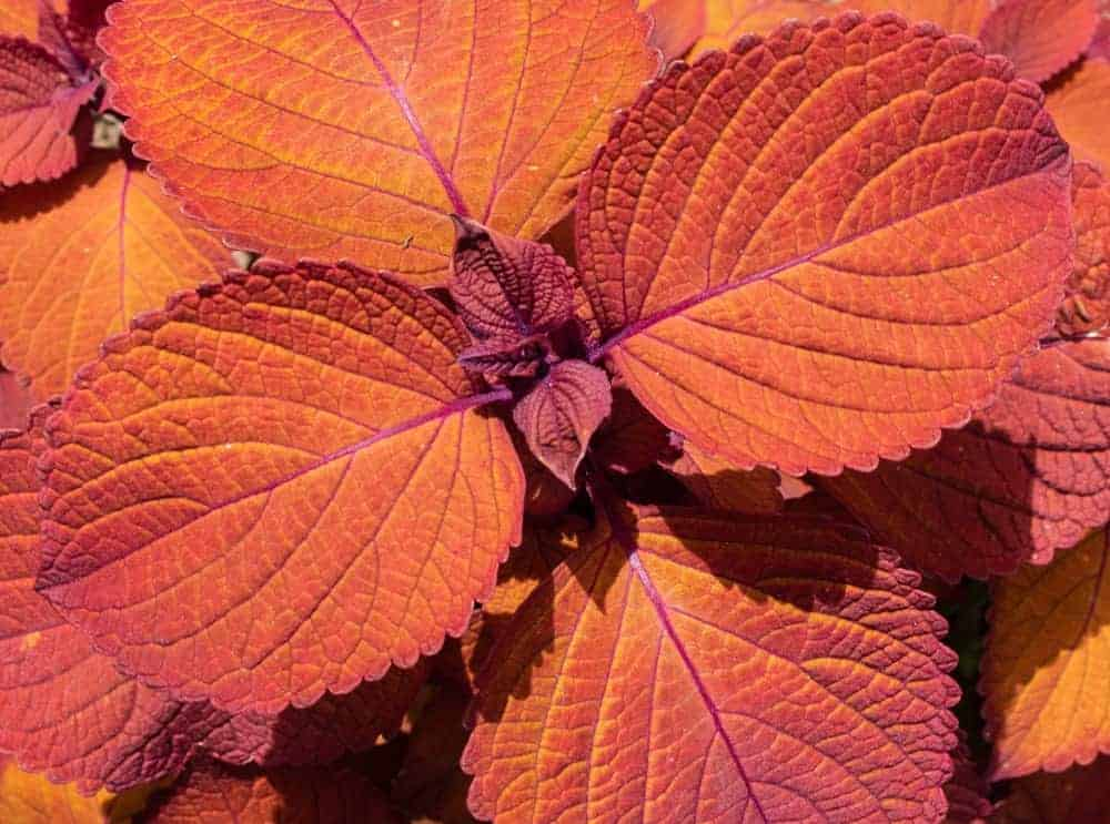 Big Red Judy; a cultivar of the Coleus plant