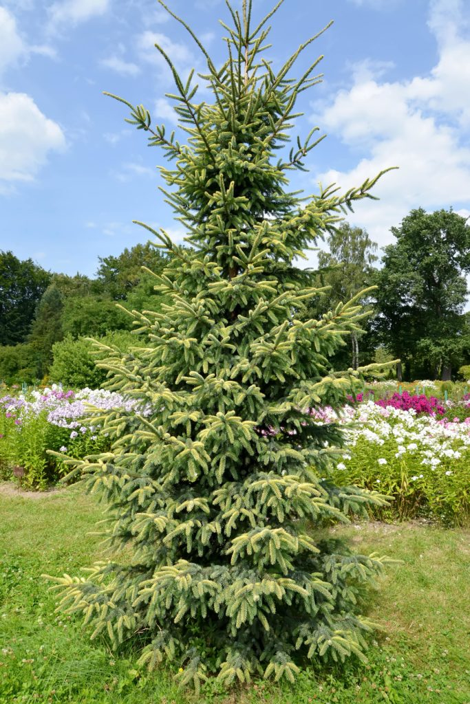 tall black spruce tree on a sunny day in front of a flower garden