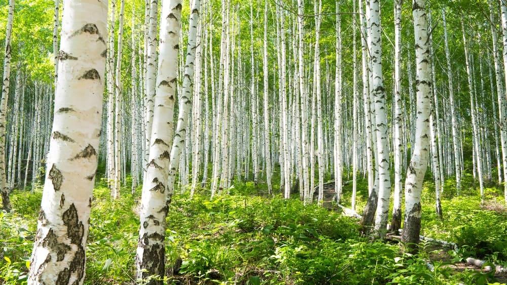 Many black birch trees