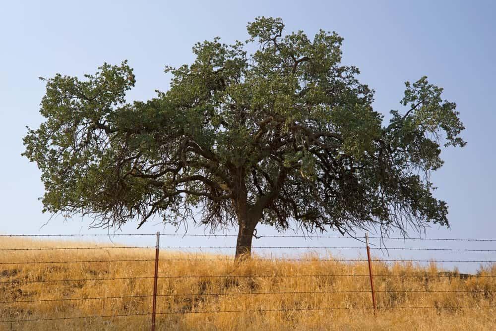 Lonely black oak tree