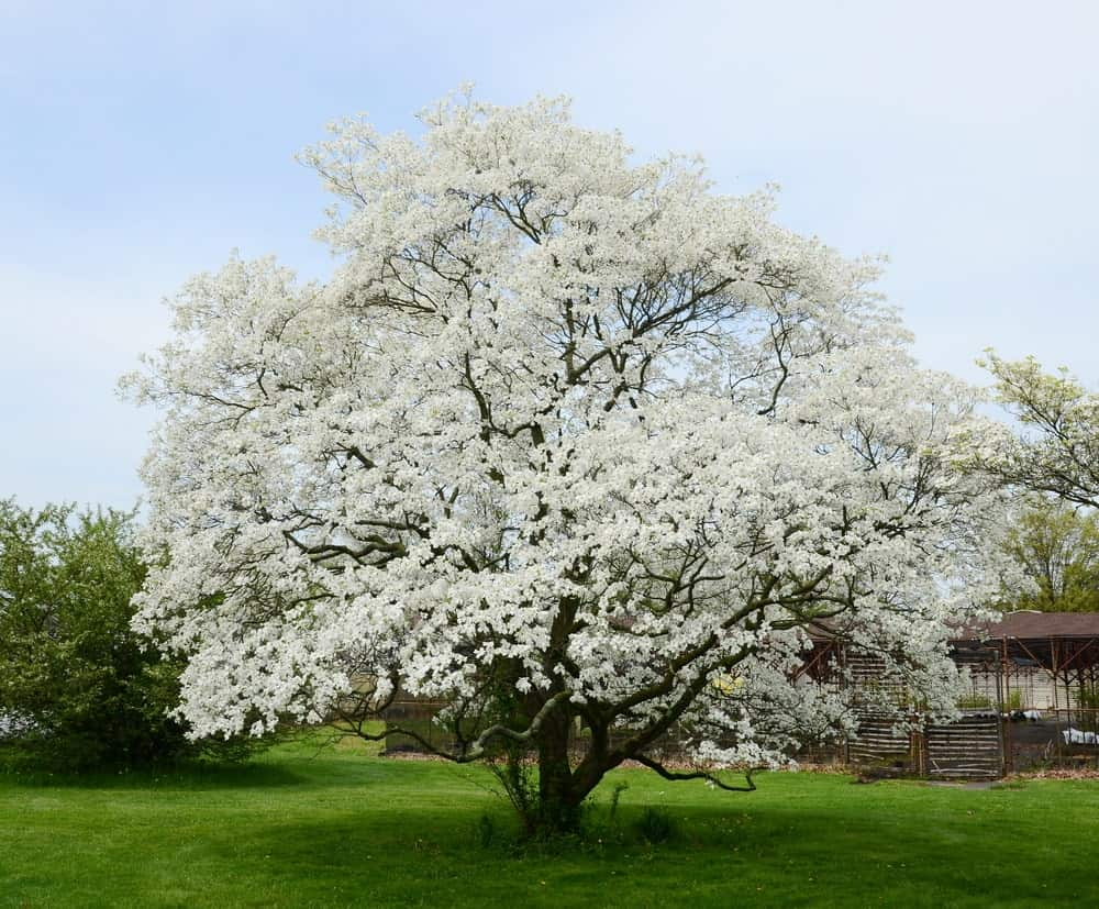 White flowers of the dogwood tree