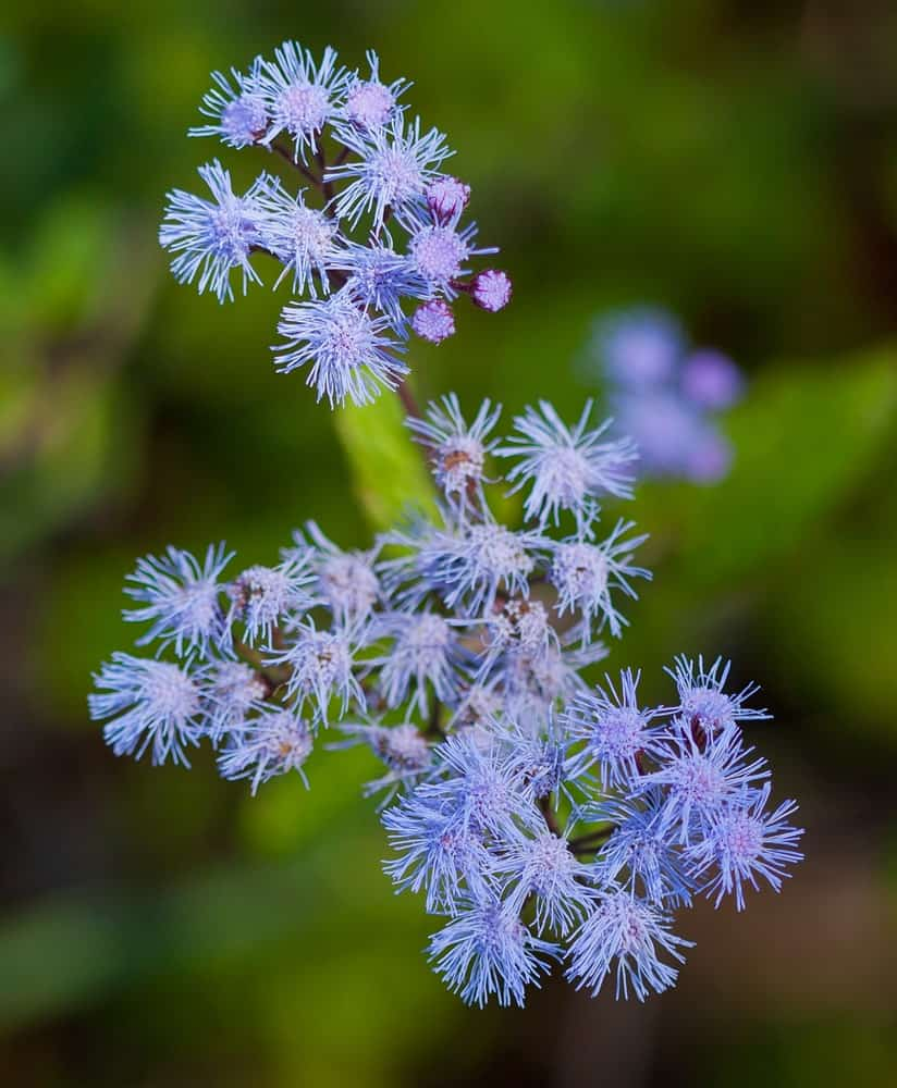 A beautiful blue mistflower
