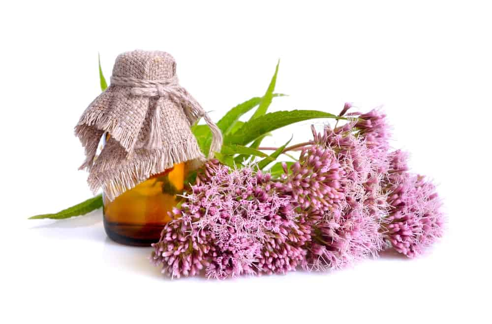 Medicinal uses of boneset flower