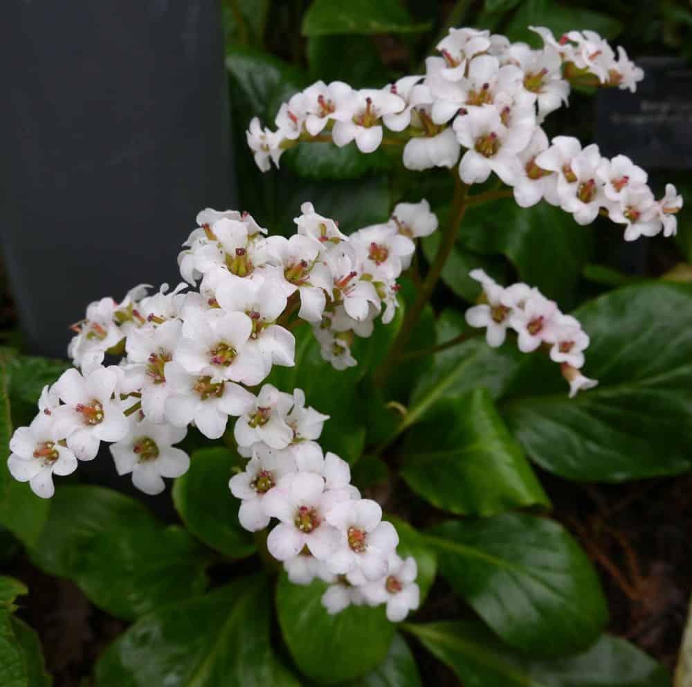 Flowers of Bressingham White bergenia