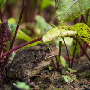 Brown American toad on dirt in garden under beet leaves