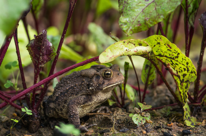 Brown American toad on dirt in garden under beet leaves