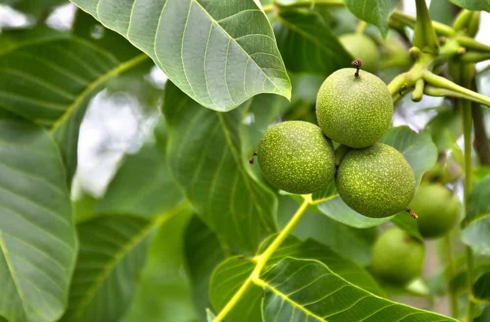 Fruit of butternut tree