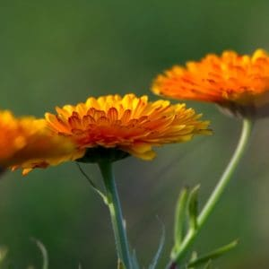 Orange Calendula flowers on green stems