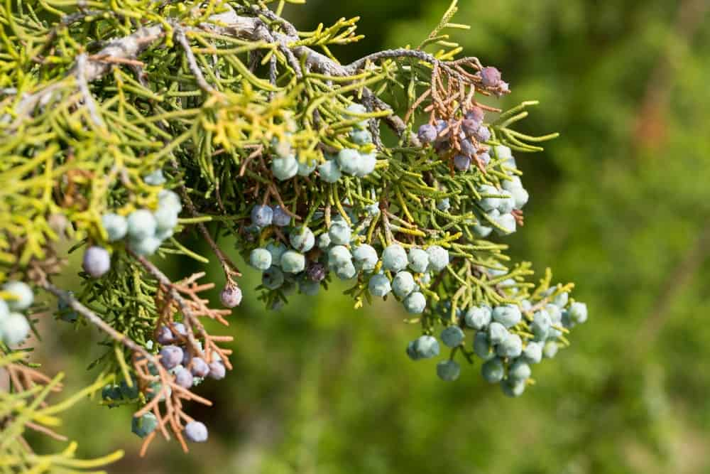 Blue-Brown Cones with Bluish Blooms on a California Juniper Tree