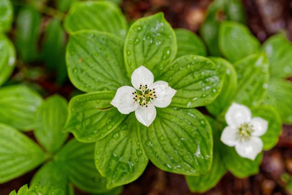 Canadian Bunchberry; a type of Dogwood tree