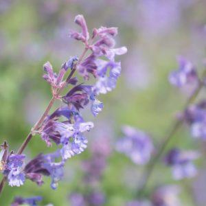 Purple Catmint Flowers